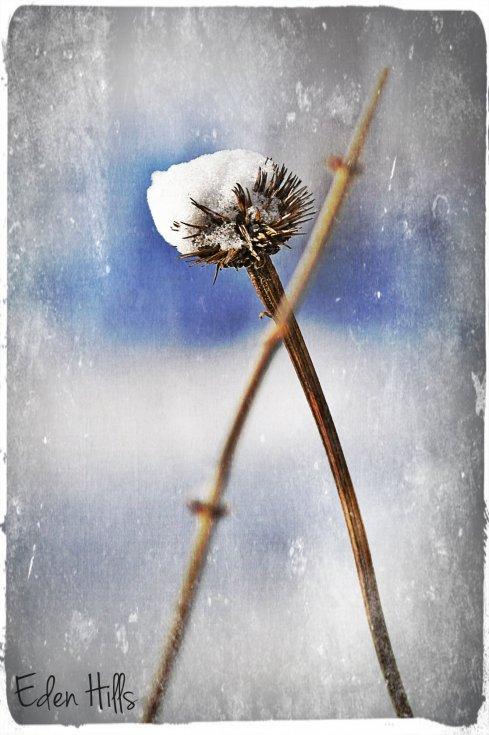 snowy Coneflower