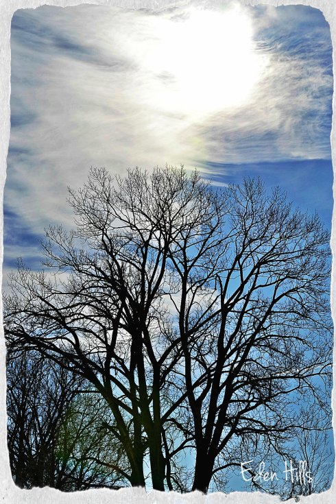 bare trees in winter sun
